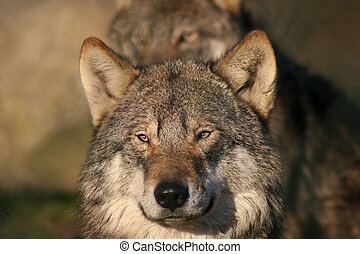 gray wolf - gray male wolf staring in the camera