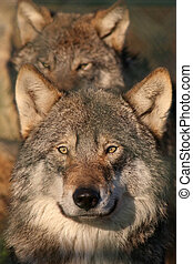 european gray wolf - portrait of an european gray wolf,pack...