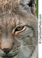 lynx eyes - close up of lynx eyes