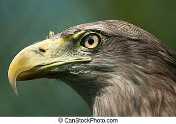 Sea eagle - Portrait of a sea eagle lat Haliaeetus albicilla...