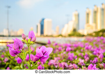 Bougainvillea flower with city view