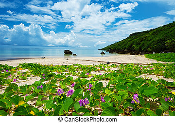 The Beach Morning Glory in ARAGUSUKU Coast-Ipomoea...