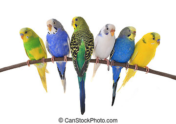 budgie - budgerigars australian parakeets isolated on white...
