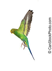 budgie - take-off of a parrot on a white background