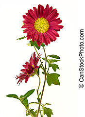 Pair of uncultivated chrysanthemum isolated on the white...