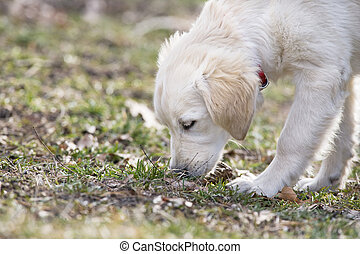 Sniffing Dog - A puppy dog Golden retriever snuffing in the...