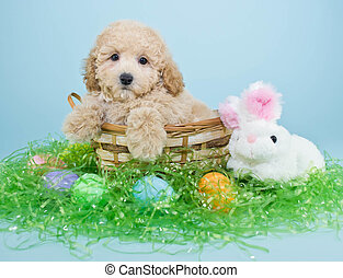 Easter Puppy - A cute little Poodle puppy sitting in a...