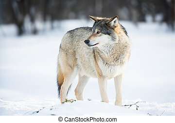 Wolf in the Snow - Wolf in a norwegian winter forest. Cold...
