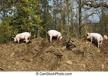 Three little piglets - Three little dirty piglets