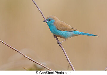 Beautiful blue waxbill sit on a thin branch close-up with...