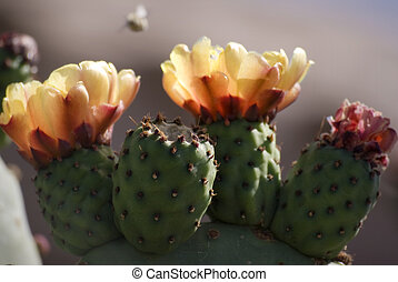 Prickly Pear Cactus Blooming in Desert, Spring - Cactus in...