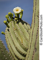 Blooming Saguaro Detail, Arizona Desert