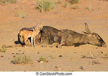 Hungry Black backed jackal eating on a hollow carcass in the dry desert