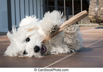 playful puppy - puppy dog maltese breed playing with stick