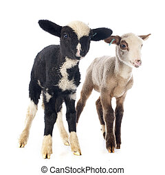 young lambs in front of white background
