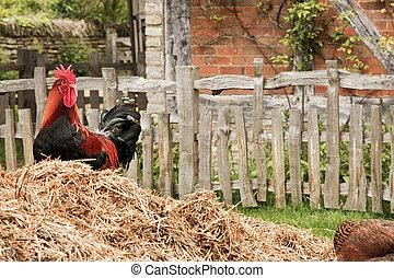 cock in a farm