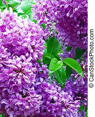 Lilacs in bloom; closeup