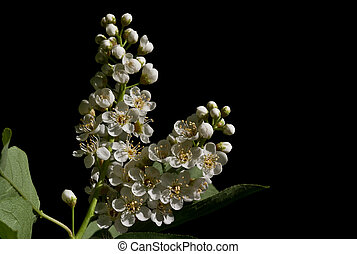 Bird Cherry 4 - Flowers in Spring