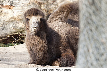 Bactrian Camels sitting