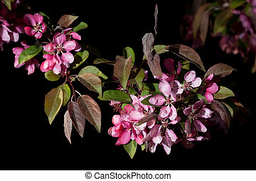 mela, albero, fiori, nero