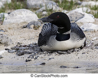 Loon Nesting - Common loon nesting on the shore of a lake
