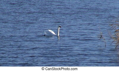 lonely white swan on lake water