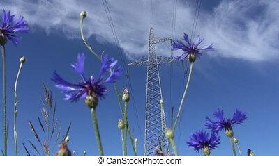 cornflower and high voltage post - blue cornflower blossoms...