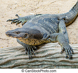Varanus salvator lizard