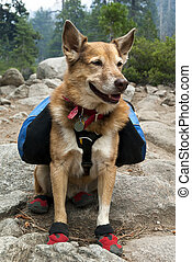 Backpacking Dog - Cattle Dog with blue backpack and red...