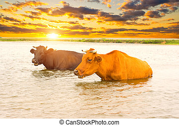 Cows in river at sunset
