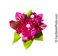 Bougainvillea flower isolated on white background with...