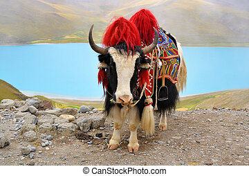 Tibetan Yak at Namtso Lake near Lhasa - Tibetan Yak on a...