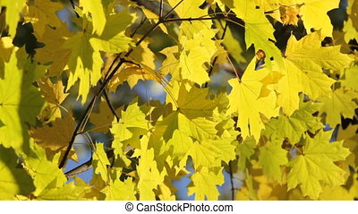 Maple tree in autumn - Maple tree branch in autumn