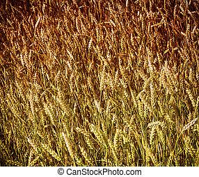Golden cereal background
