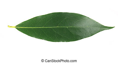 Bay leaf. Isolated on a white background.