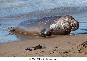 Elephant Seal - An elephant seal returns to the beach from...