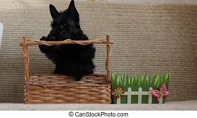 Scottish Terrier puppy and decorative basket