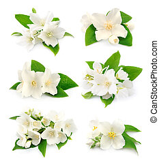 Set of jasmine - Set of white flowers of jasmine on the...