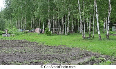 farmer woman birch tree - Birch tree move in wind and farmer...