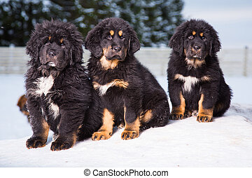 three black puppies of Tibetan mastiff - little security...