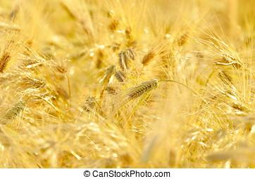 golden cereal field