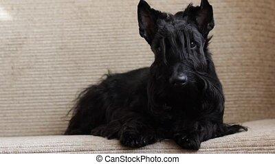 Scottish Terrier on couch