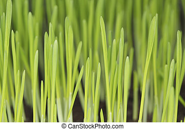 Barley seedlings photographed with ring flash Short depth of...