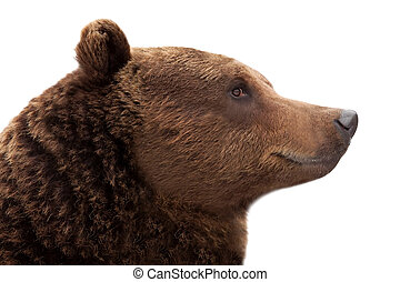 Brown bear - Portrait of brown bear Ursus arctos, isolated...
