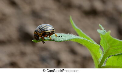 Colorado potato beetle bug