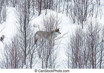 Wolf in winter landscape - Wolf in a norwegian winter...