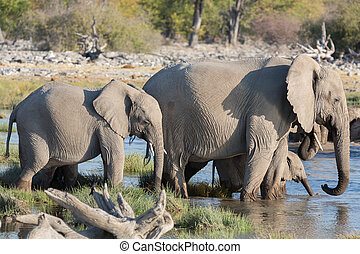 Elephants in Etosha - Mom and baby elephants getting into...