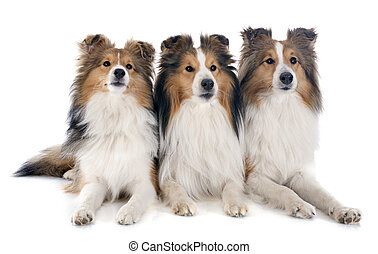 shetland dogs - purebred shetland dogs in front of white...