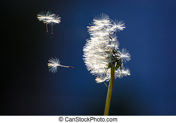 Dandelion in the breeze - Dandelion seeds abandoning the...