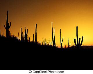 Desert Southwest Saguaro Cacti Morning - Many Saguaro cactus...